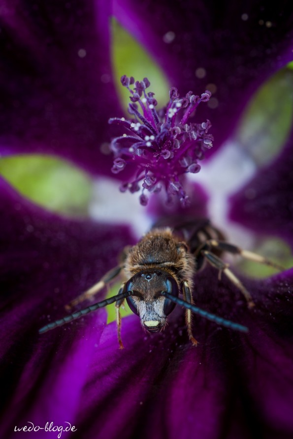 Biene in Malve